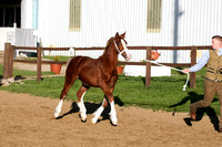 Class 43-Sect D Foal, Filly or geld